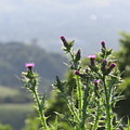 Young Thistles by Suzanne Leonard