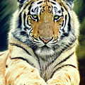 Young Tiger by Angela Doelling AD DESIGN Photo and PhotoArt
