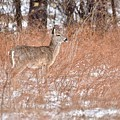 Young White-tailed Deer In The Snow by Jeramey Lende