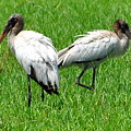 Young Wood Storks 2 by Amy Spear