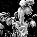 Yucca Blossoms by Elizabeth Tillar