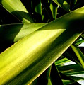 Yucca by Dianne Pettingell