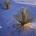 Yucca In Gypsum Sand by Tom Daniel