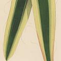 Yucca Leaf by English School