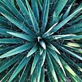 Yucca Plant Detail by Douglas Barnett