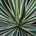 Yucca Whirl by Lon Dittrick