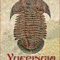 Yuepingia Fossil Trilobite by Melissa A Benson