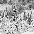 Yukon Snow Scene Black And White Contrast by Phyllis Spoor