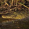 Zambezi Crocodile by Kay Brewer