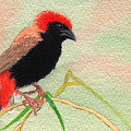 Zanzibar Red Bishop by Lynn Quinn