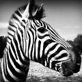 Zebra 2 by Perry Webster