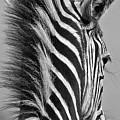 Zebra Baby by Suzanne Morshead