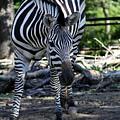 Zebra by Brenda Thour