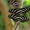 Zebra Butterflies Hanging On by Sabrina L Ryan