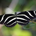 Zebra Butterfly by Kenneth Albin