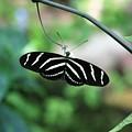 Zebra Butterfly by Kristina Jones
