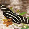 Zebra Butterfly by Laurel Powell