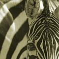 Zebra Close Up A by Ofer Zilberstein