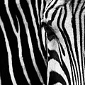 Eye Of The Zebra by Vincent Wille