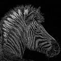Zebra Computer Drawing by Marv Vandehey