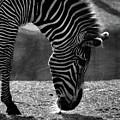 Zebra  by September  Stone