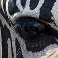 Zebra Eye by Diane Greco-Lesser