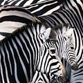 Zebra Family by Johnnie Boswell