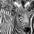 zebra Family by Lyle Barker