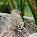 Zebra Finch by Valerie Ornstein