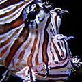 Zebra Fish by Denise Keegan Frawley