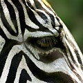 Zebra by FL collection