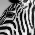 Zebra II by Christine Hauber