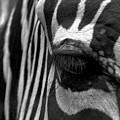 Zebra In Black And White by Denise Jenks