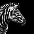 Zebra In Black And White by Malcolm MacGregor