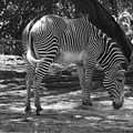 Zebra In Black And White by Rob Hans