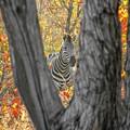 Zebra In Mopane Textures by Marc Holcroft