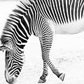 Zebra by James Rosales