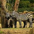 Zebra by Johnny Griffin