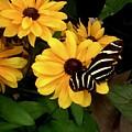 Zebra Longwing by Alida M Haslett