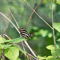 Zebra Longwing Butterfly About To Take Flight by JR Cox