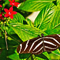 Zebra Longwing Butterfly In Living Desert Zoo And Gardens In Palm Desert-california  by Ruth Hager