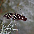 Zebra Longwing Butterfly by Ken Figurski