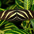 Zebra Longwing Butterfly On A Sanchezia Nobilis Tropical Plant by Reimar Gaertner