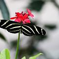 Zebra Longwing Butterfly by Penelope Winthrop