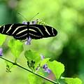 Zebra Longwing Butterfly by Corinne Rhode