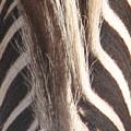 Zebra Mane by Mary Ivy