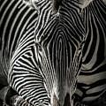 Zebra  by Martin Alonso