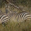 Zebra On The Serengeti by Joseph G Holland