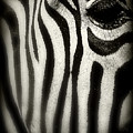 Zebra by Perry Webster