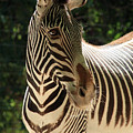 Zebra Portrait by Aidan Moran